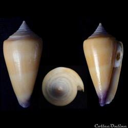 Calibanus (Calibanus)  furvus (Reeve, 18...