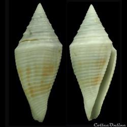 Turriconus (Turriconus) SP
