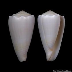 Conus crosseanus Bernardi, 1861