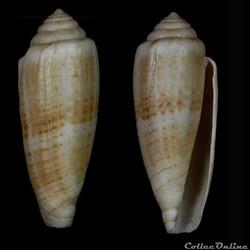Virgiconus ( Pseudohermes) austroviola (...