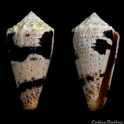 Strategoconus (Rolaniconus) varius (Linn...
