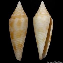 Fusiconus (Fusiconus) elegans (Sowerby III, 1895)