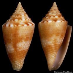 Ximeniconus (Jaspidiconus) cf.