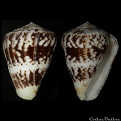 Chelyconus ermineus ermineus (Born, 1778...