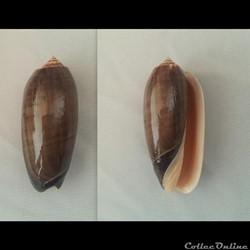 Oliva (Miniaceoliva) miniacea f. marrati...