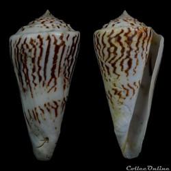 Kohniconus emarginatus (Reeve, 1844)