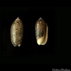 Jaspidella jaspidea (Gmelin, 1791)
