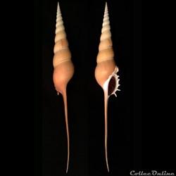 Tibia fusus (Linnaeus, 1758)