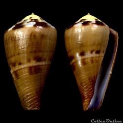 Rhizoconus vexillum (Gmelin, 1791)