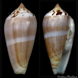 Pionoconus fulmen f. kirai (Reeve, 1843)