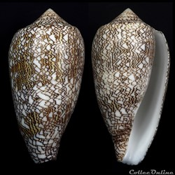 Cylindrus archiepiscopus  f. pyramidalis  (Lamarck, 1810)