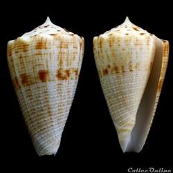 Asprella sulcata (Hwass in Bruguière, 17...