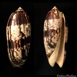 Miniaceoliva miniacea (Röding, 1798)