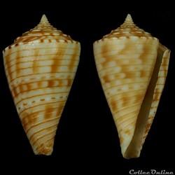 Boucheticonus spirofilis (Habe & Kosuge,...