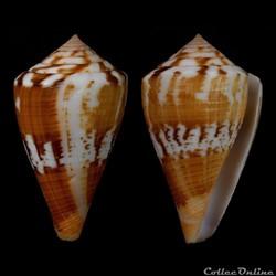 Dauciconus (Dauciconus) orion (Broderip,...