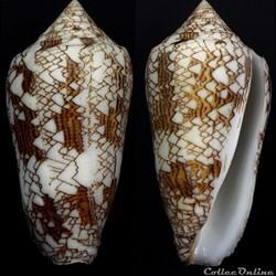 Cylindrus neovicarius (da Motta, 1982)