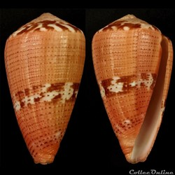 Dauciconus (Purpuriconus) vittatus (Hwas...