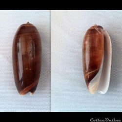 Oliva (Miniaceoliva) irisans irisans f f...