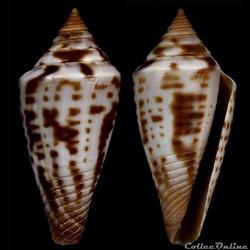 Dauciconus (Dauciconus) paschalli (Petuc...