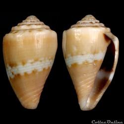 Pseudolilliconus korni (Raybaudi Massilia, 1993)