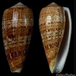 Textilia cervus (Lamarck, 1822)