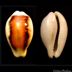 Neobernaya spadicea (Swainson, 1823)