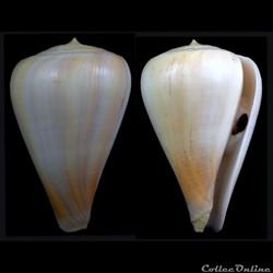 Pyruconus patricius (Hinds, 1843)