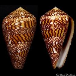 Cylindrus dalli (Stearns, 1873)