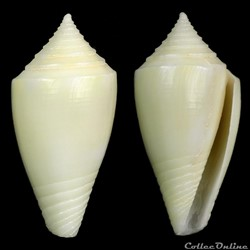 Dauciconus (Purpuriconus) bahamensis (Vi...