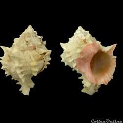 Phyllonotus margaritensis (Abbott, 1958)