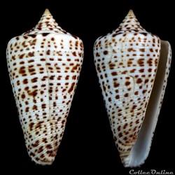 Lindaconus sp (Dillwyn, 1817)