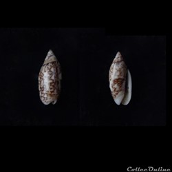 Oliva jaspidea (Duclos, 1835) f duclosi ...