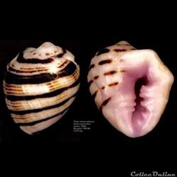 Drupa morum iodostoma (Lesson, 1840)
