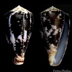 Chelyconus ermineus inquinatus (Reeve, 1...