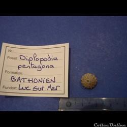 Diplopodia pentagona