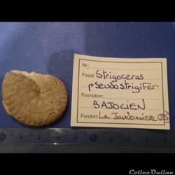 Strigoceras pseudostrigifer