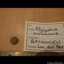 Polycyphus normannus