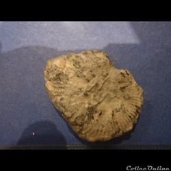 Ammonite indéterminée 20