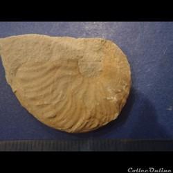 Hyphoplites falcatus