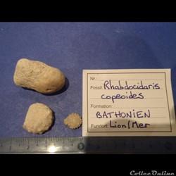 Rhabdocidaris capeoides