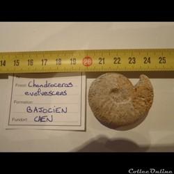 Chondroceras evolvescens