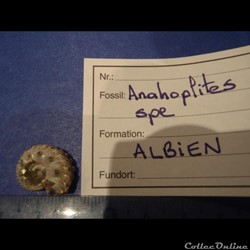 Anahoplites sp.