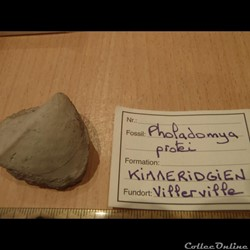 Pholadomya protei