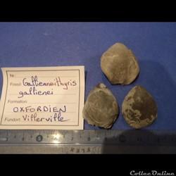 Gallienneithyris galliennei